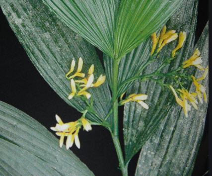 como plantar orquídea na terra: Corymborchis Flava