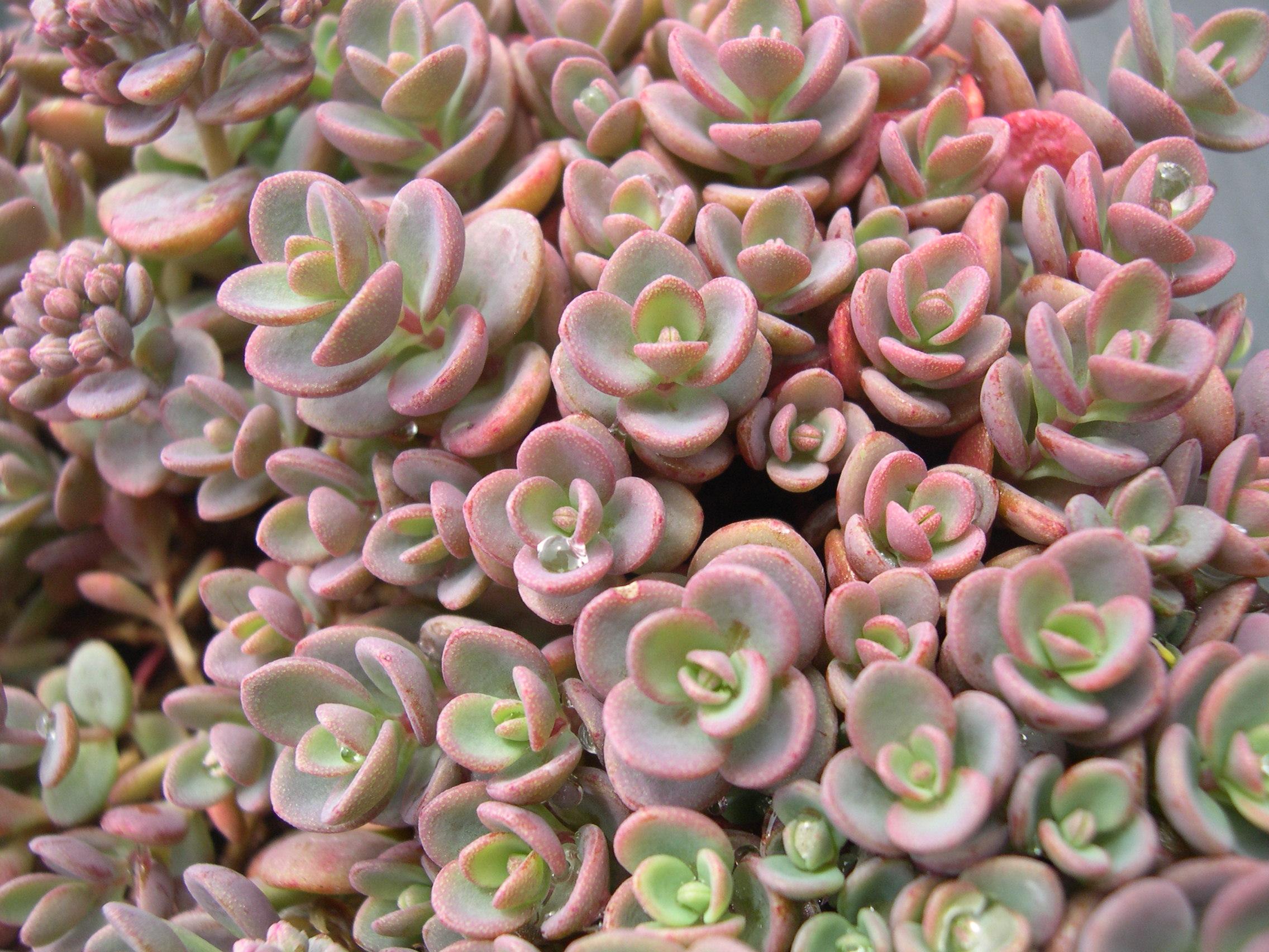 Espécies de suculentas: Sedum pluricaule