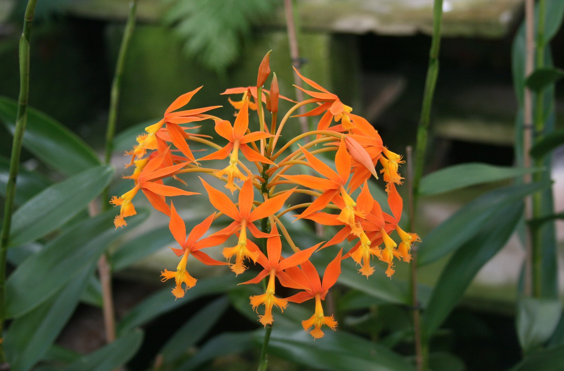como plantar orquídea na terra: orquídeas terrestres Epidendrum-Cinnabarinum