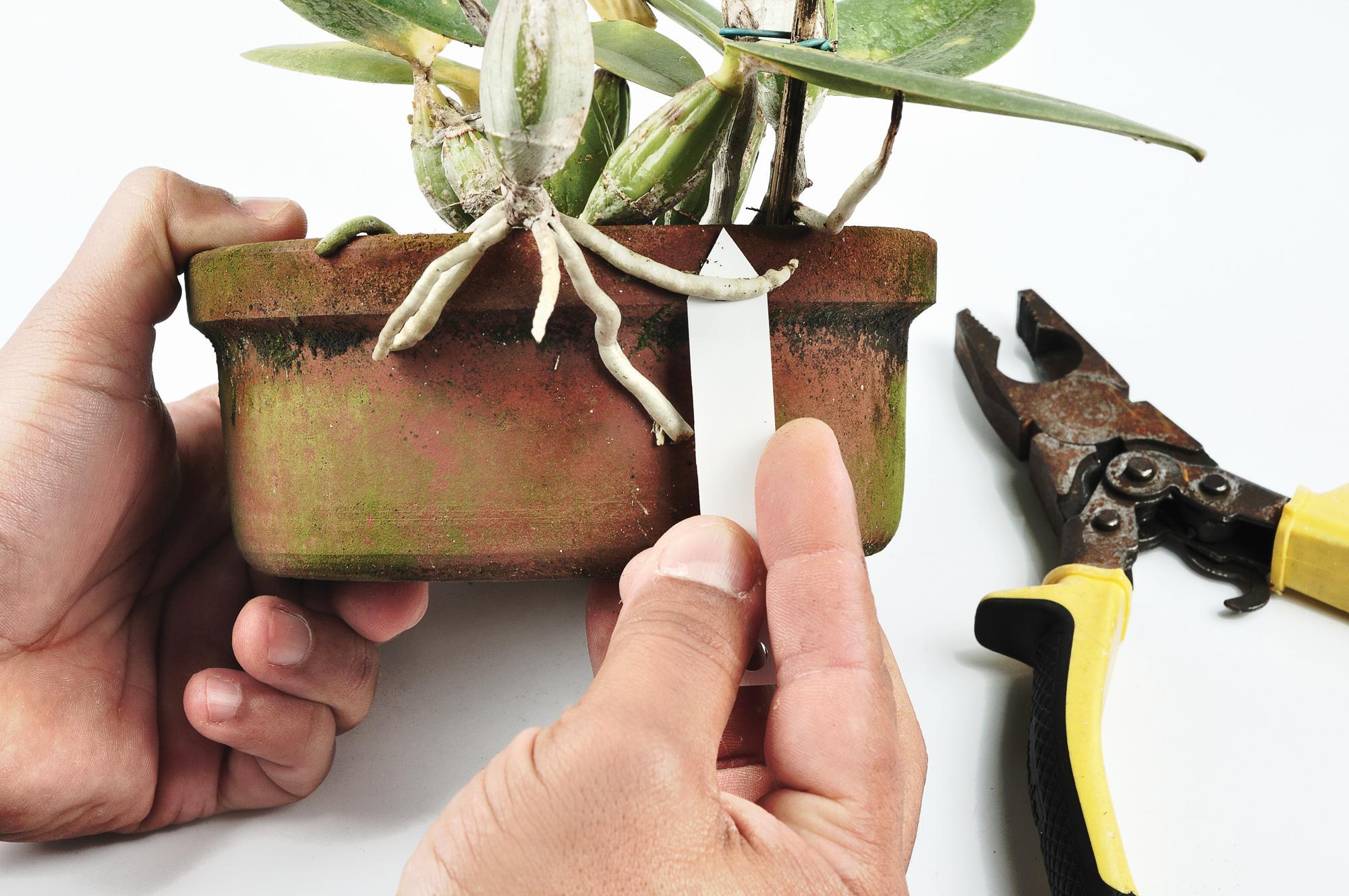 É preciso observar alguns fatores antes de aprender como replantar orquídeas.