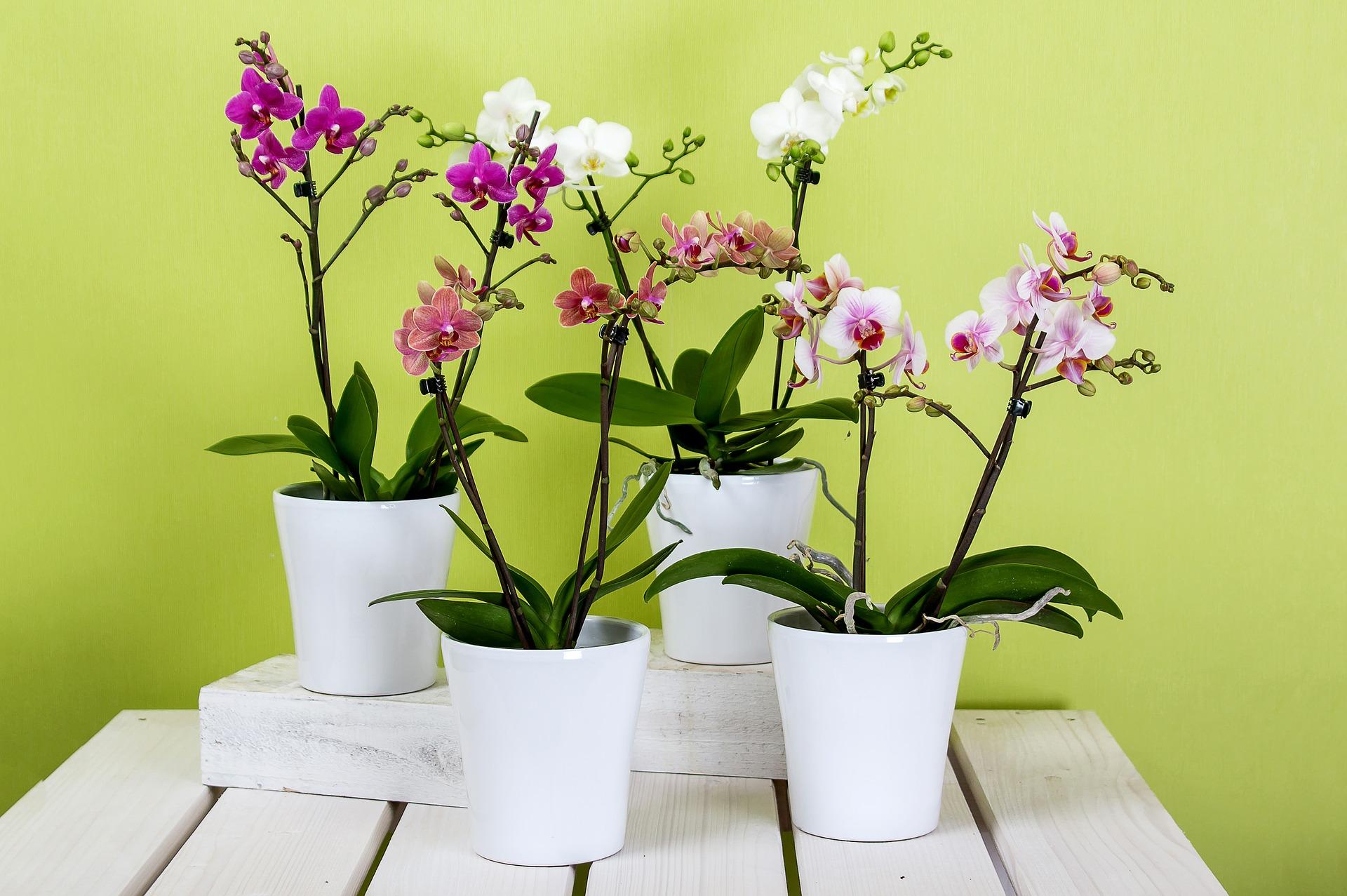 como replantar orquídeas