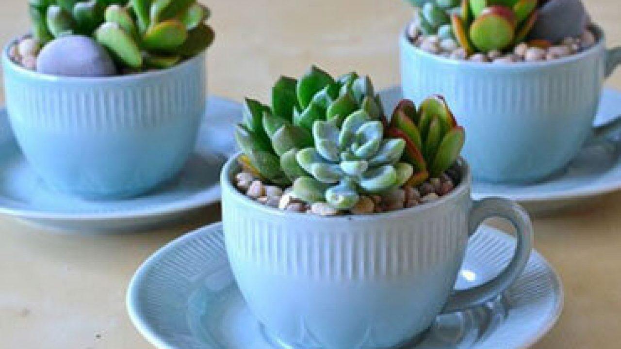 Espécies de suculentas xícaras de porcelana.