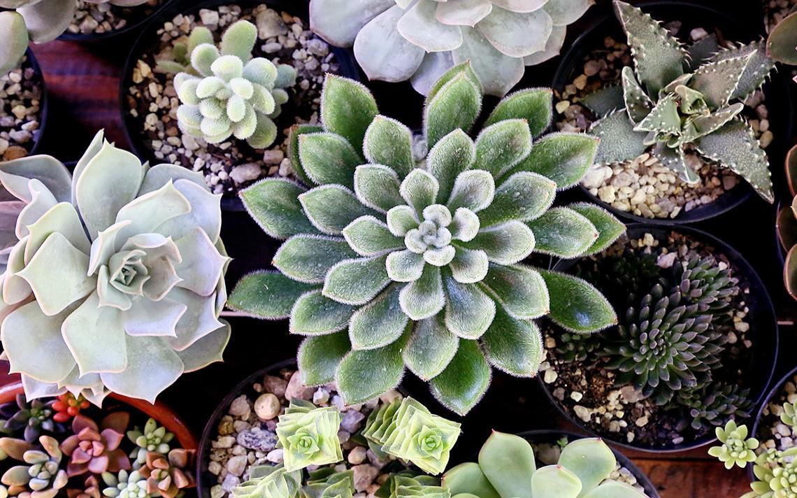 Há várias espécies de suculentas diferentes de todas as cores e formatos.