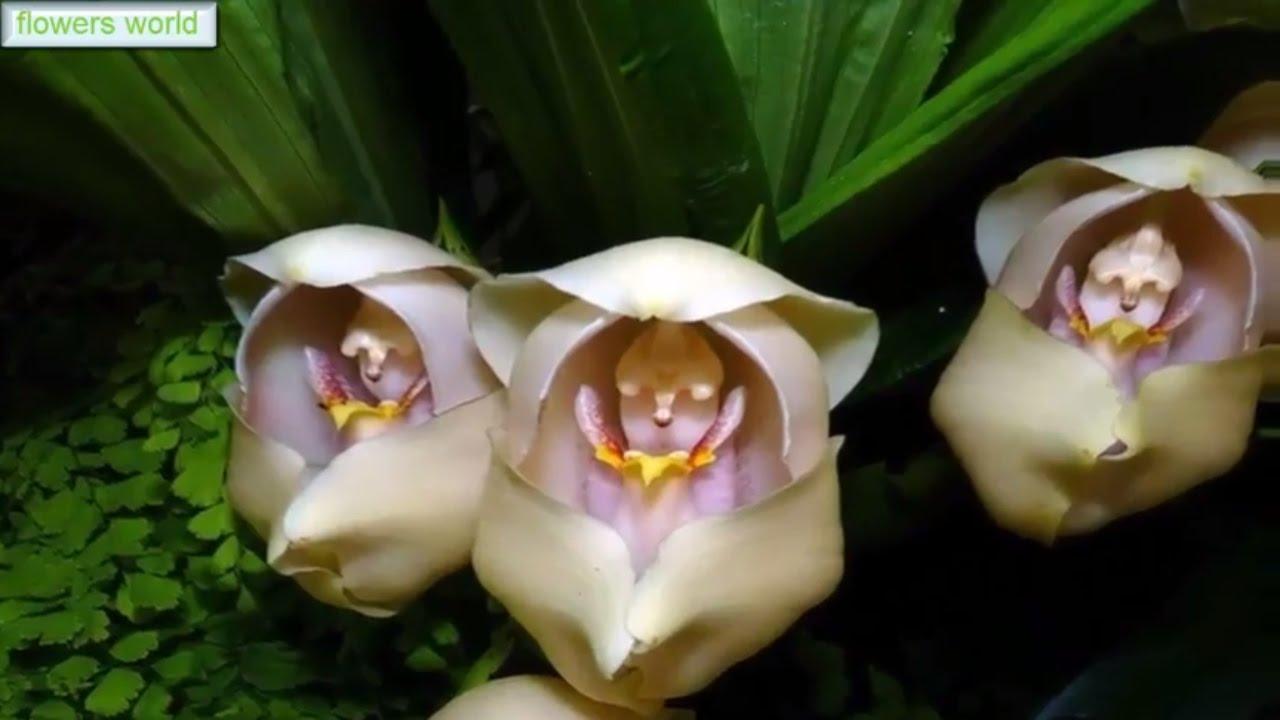 orquídea que parece bebê: Anguloa Uniflora