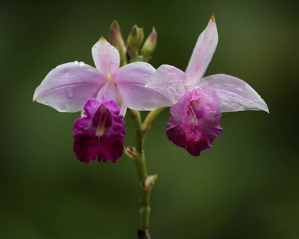 Orquídea que parece bambú: Arundina bambusifolia