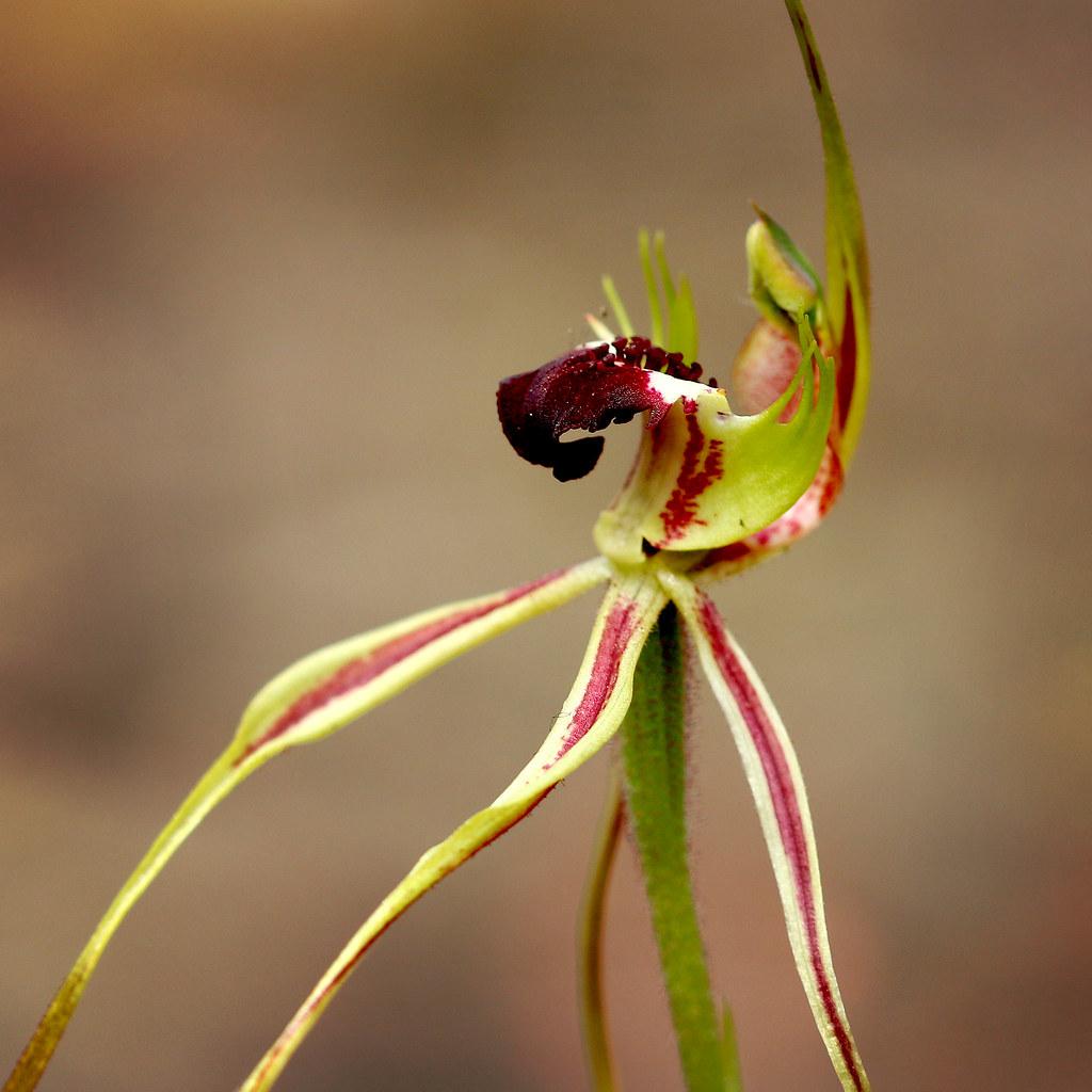 orquídea que parece aranha: Caladenia dilatata