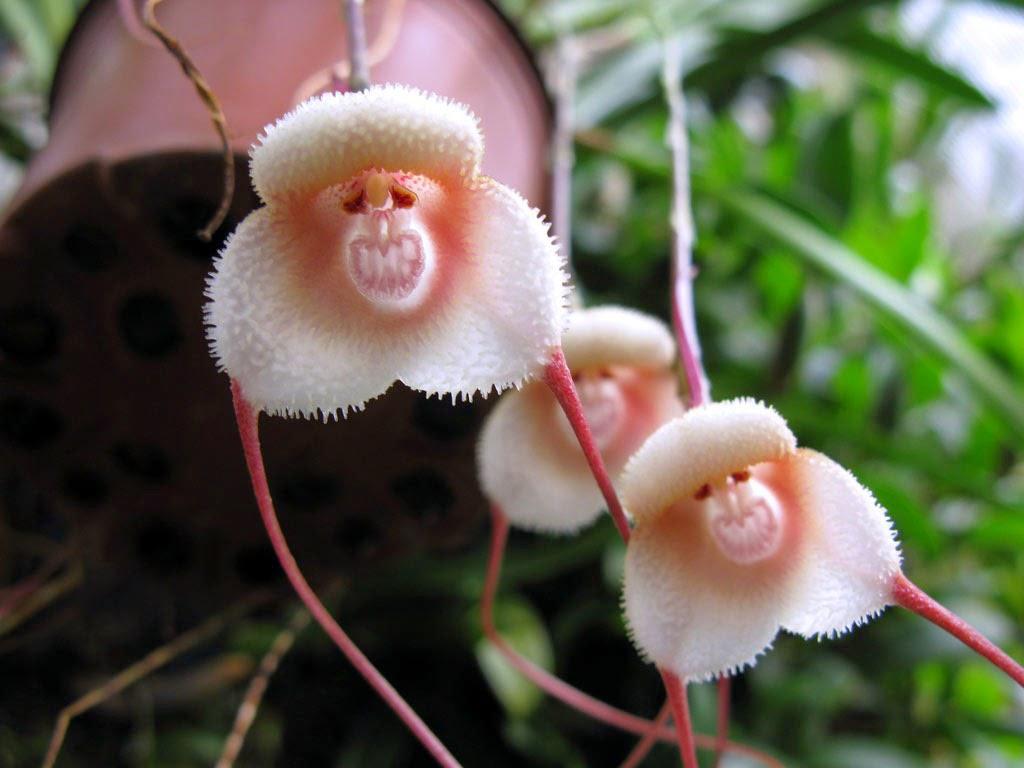 orquídea que parece cara de macaco: Dracula simia