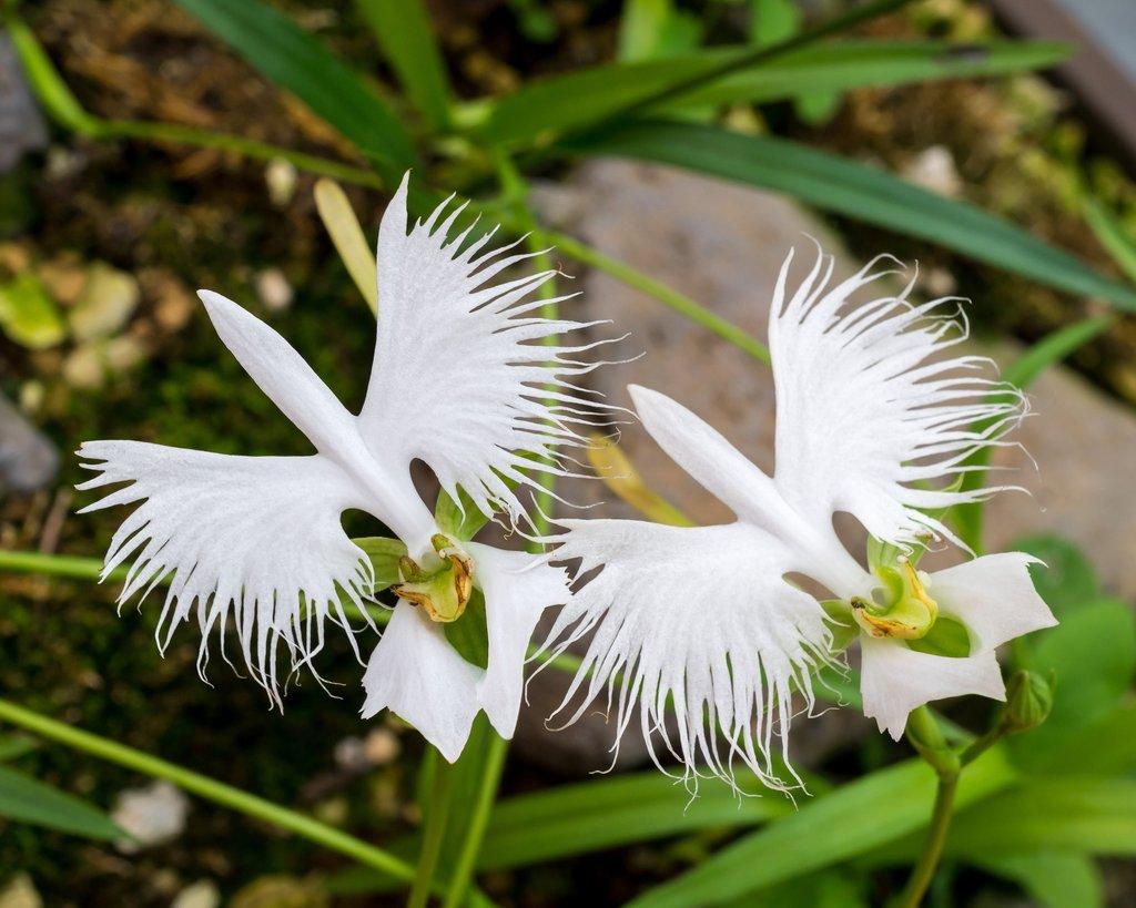 Orquídea que parece um passarinho: Habenaria radiata