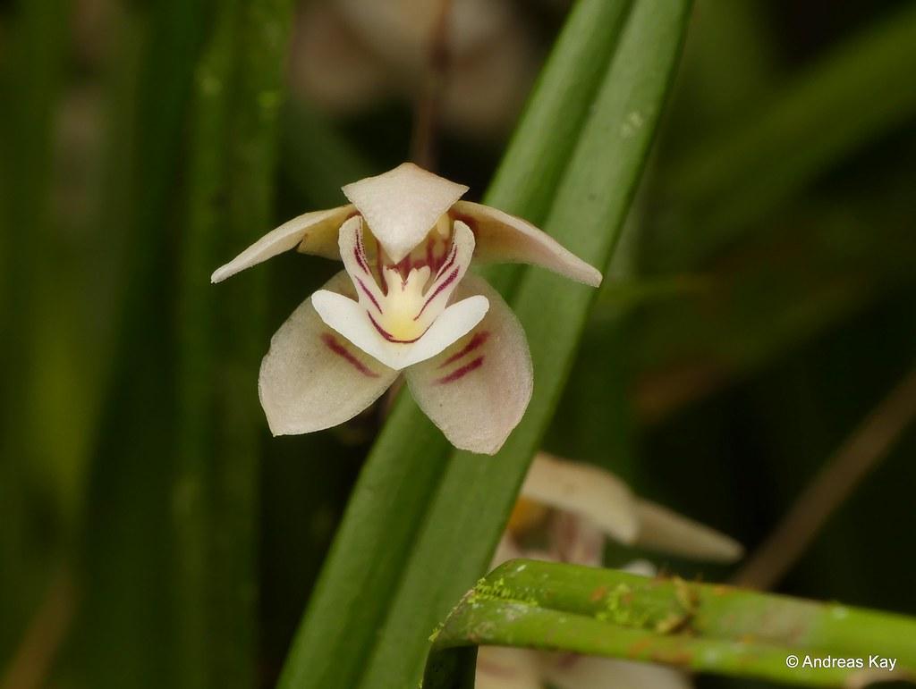 Orquídea que parece mato: Koellensteinia graminea