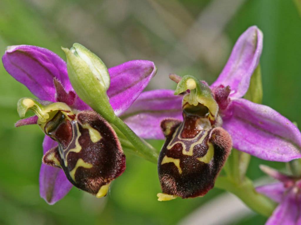 Orquídea que parece abelhas: Ophrys apifera