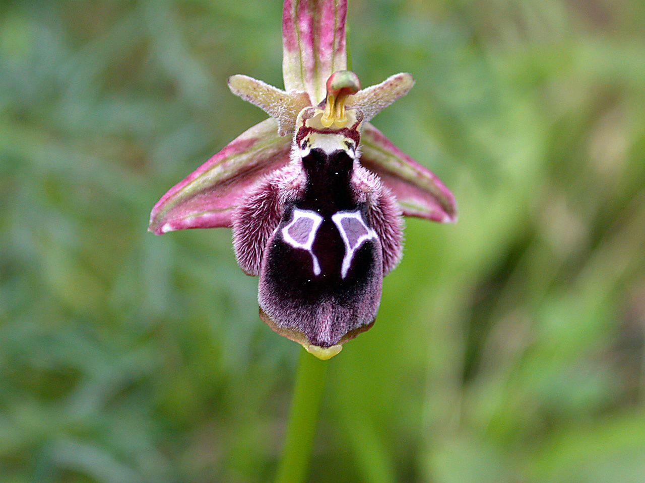Orquídea que parece bode Ophrys reinholdiii