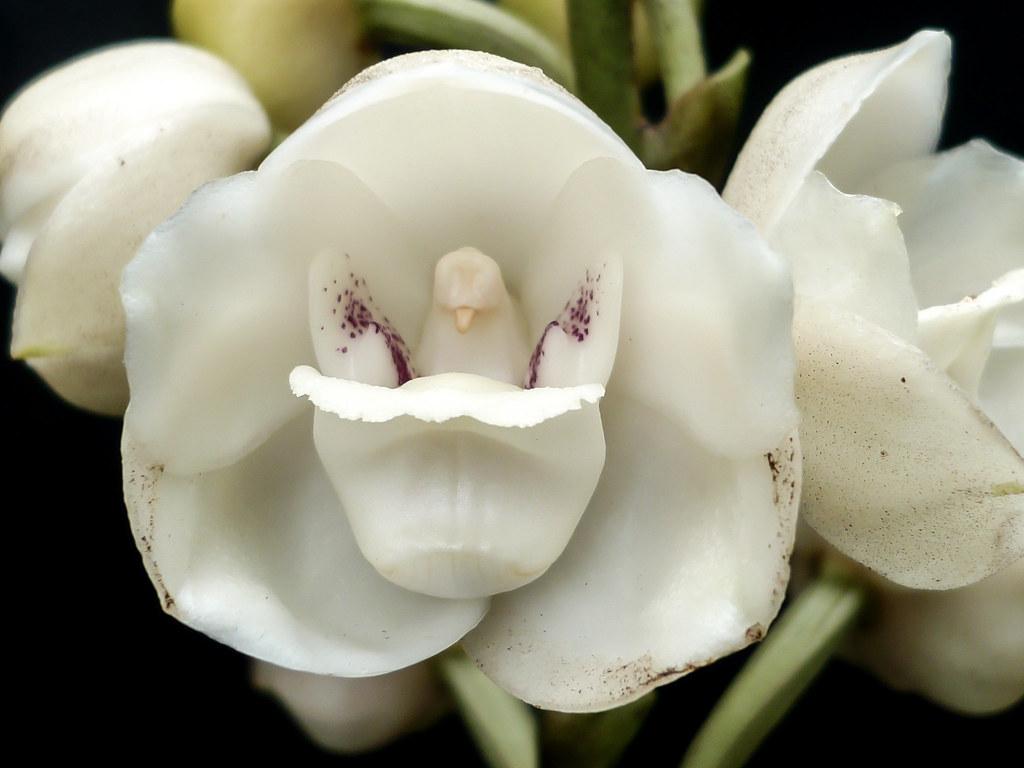 Orquídea que parece uma pomba: Peristeria elata