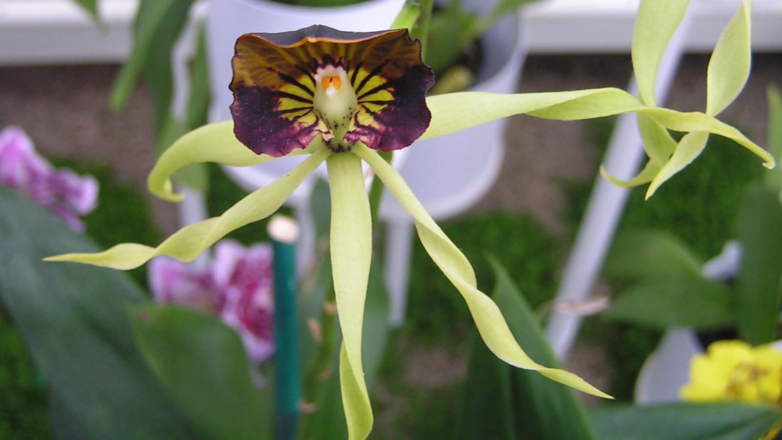 Orquídea que parece polvos: Prosthechea cochleata