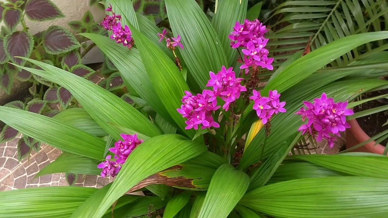 orquídea que parece coqueiro: Spathoglottis unguiculata
