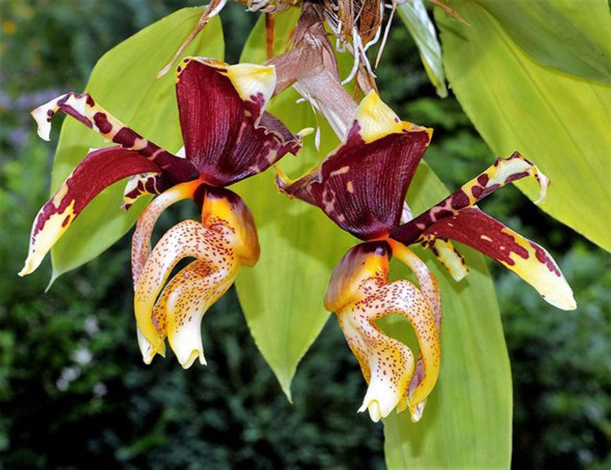 orquídea que parece beija flor: Stanhopea