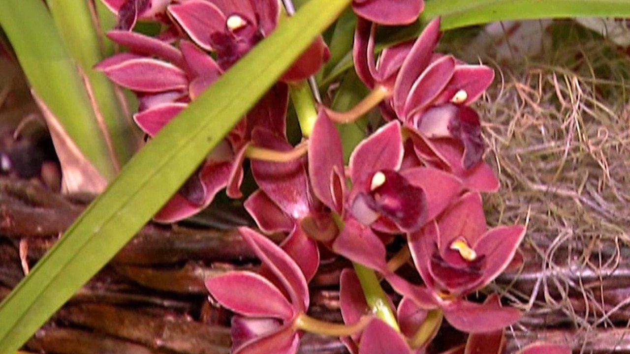 minha orquídea está morrendo por falta de nutrientes