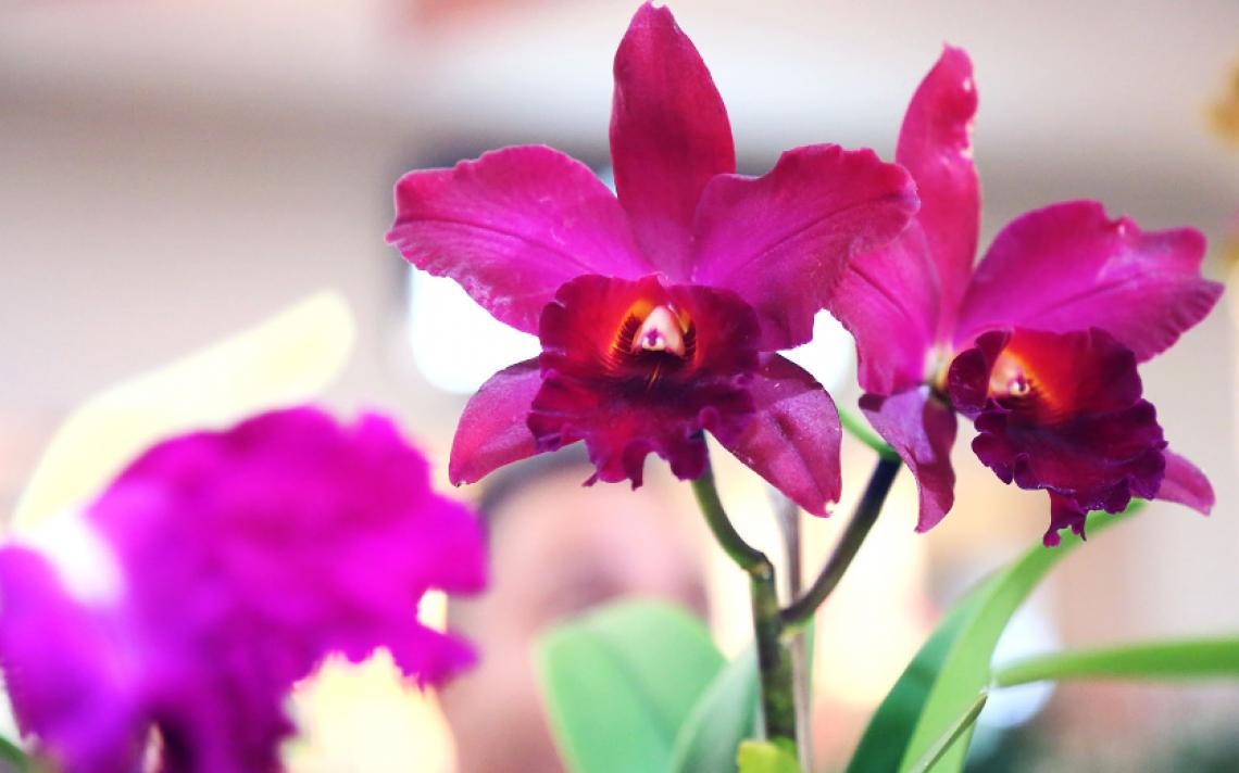 minha orquídea está morrendo