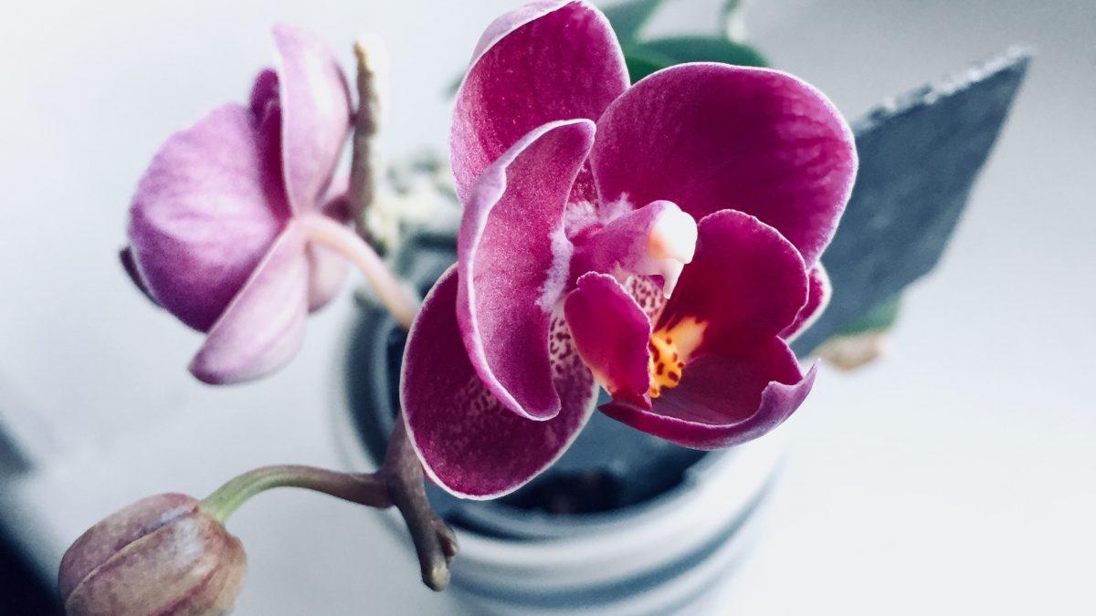 minha orquídea está morrendo por conta das raízes
