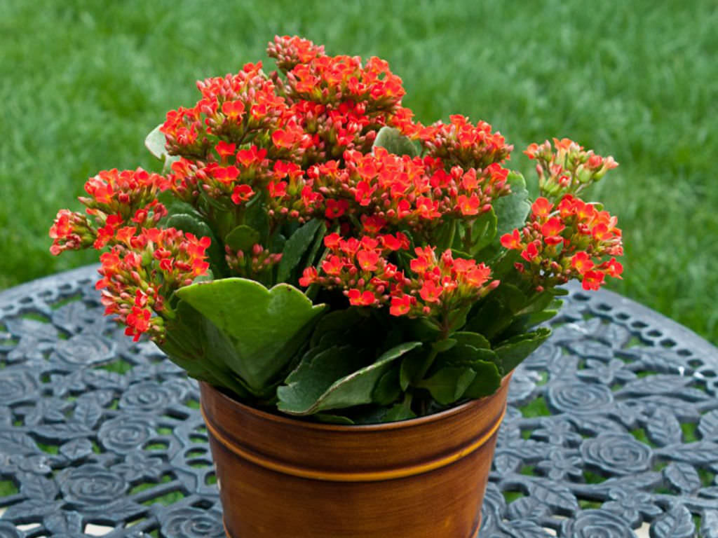 A Kalanchoe pode ser utilizada de diversas formas, em vasos, jardineiras, canteiros, arranjos, forrações, entre outros.