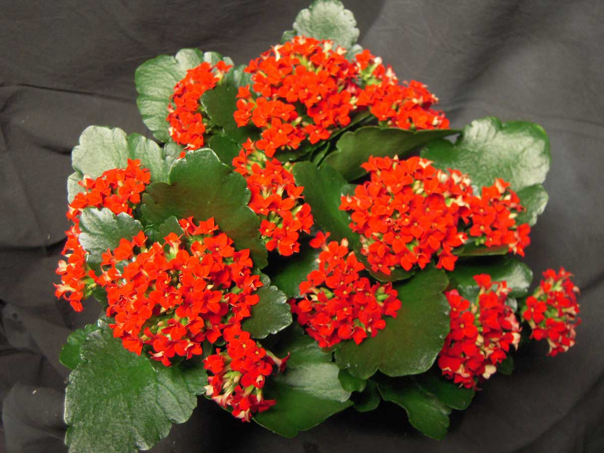 A Mini Kalanchoe é uma planta muito delicada e decorativa.