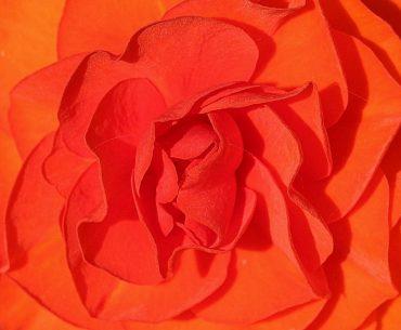 flor begonia