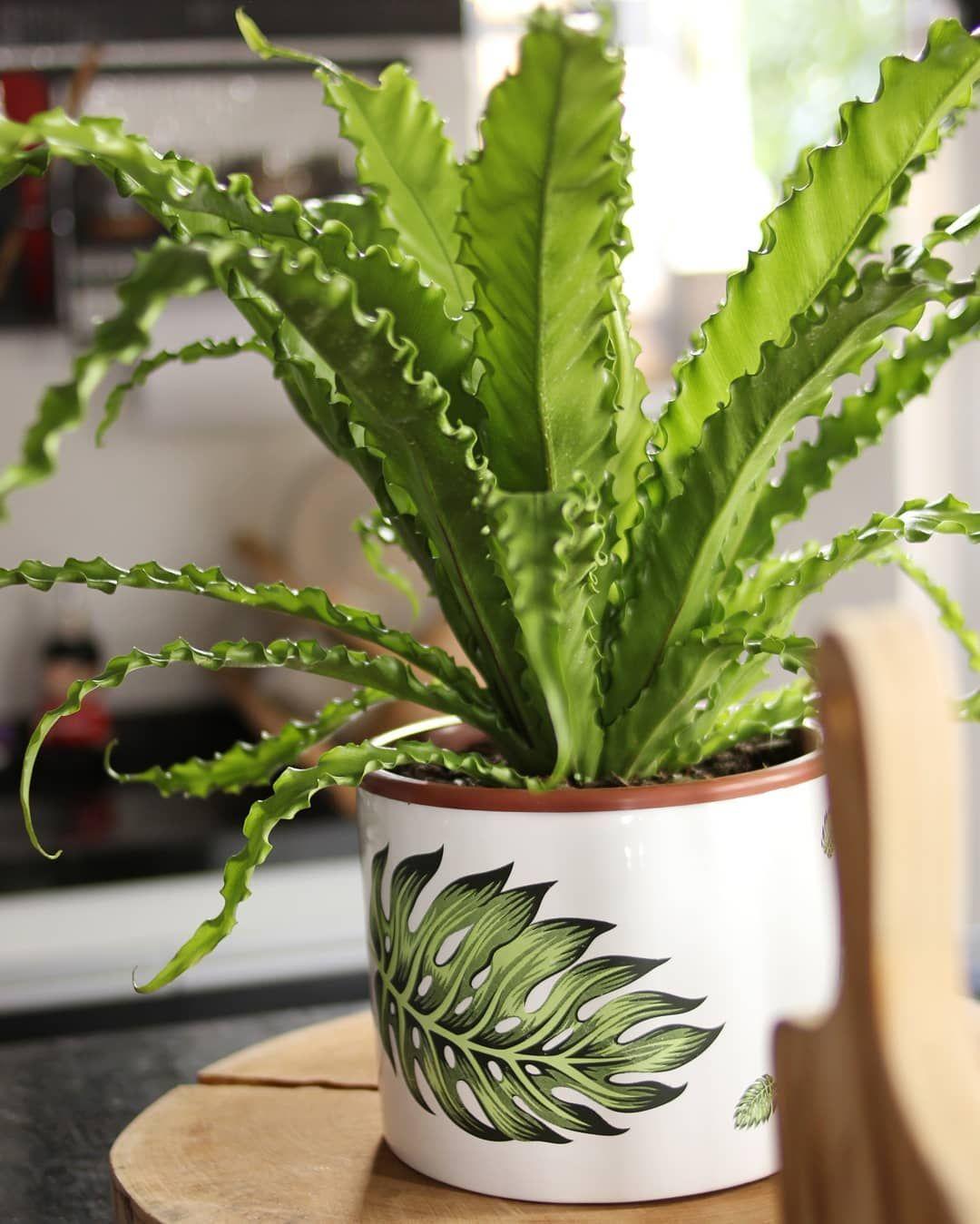 plantas para dentro de casa Asplênio