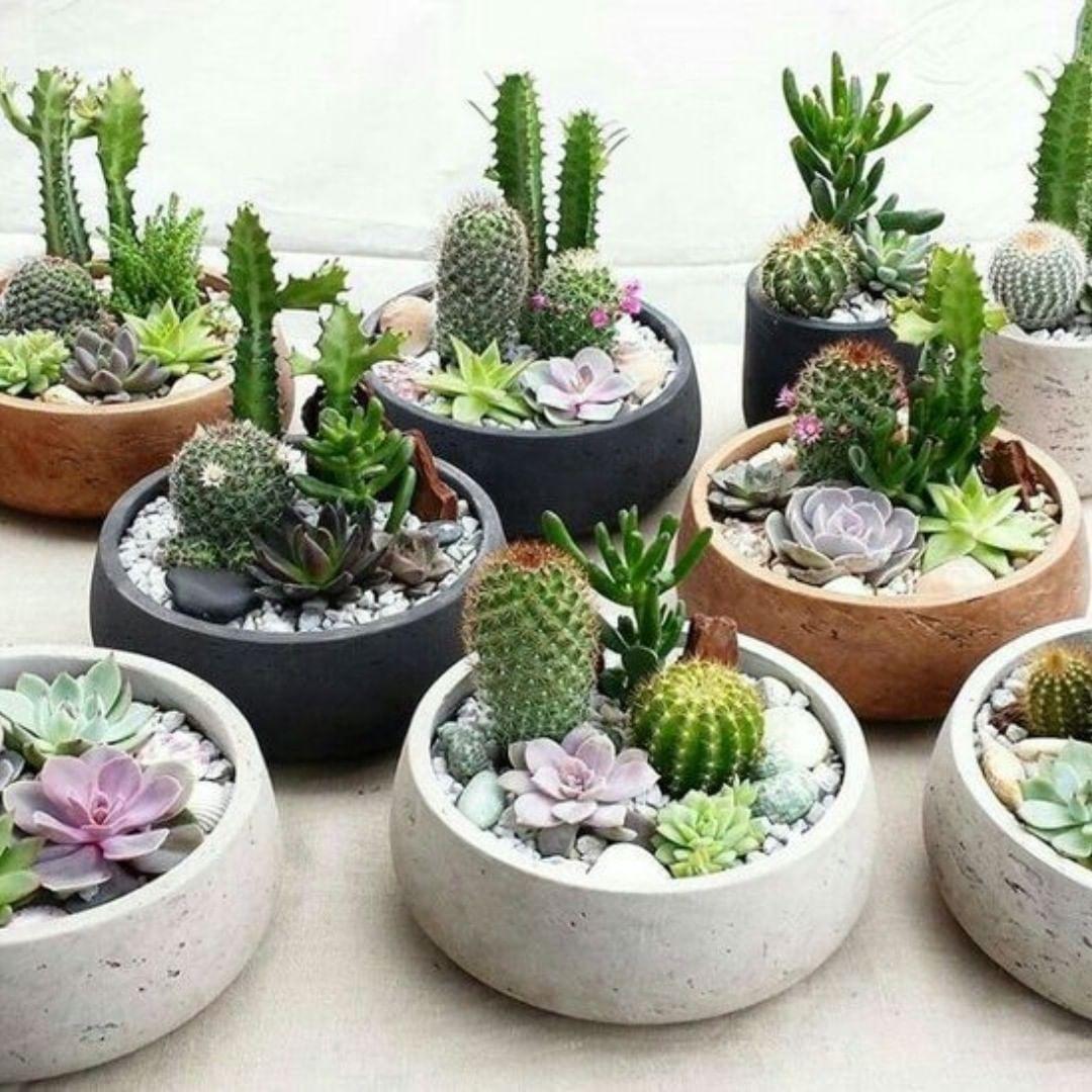plantas para dentro de casa Cactos