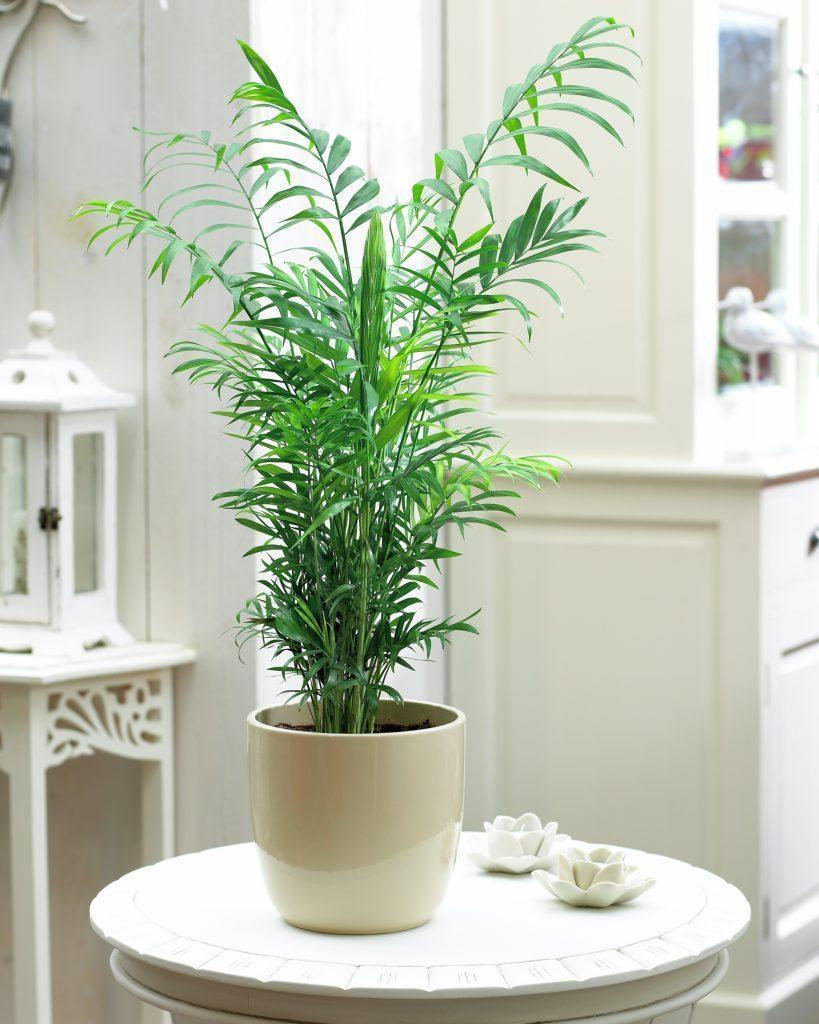 plantas para dentro de casa Chamaedorea