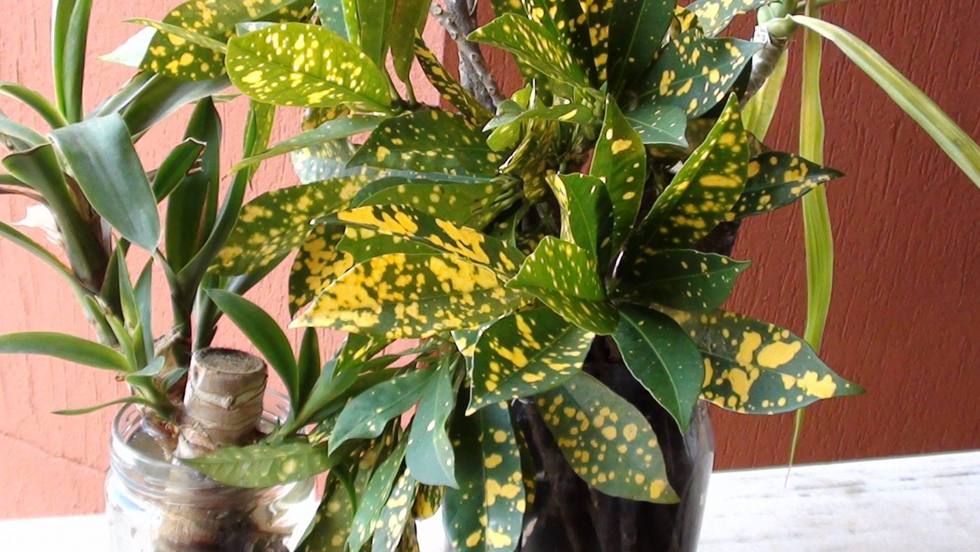 plantas para dentro de casa Croton