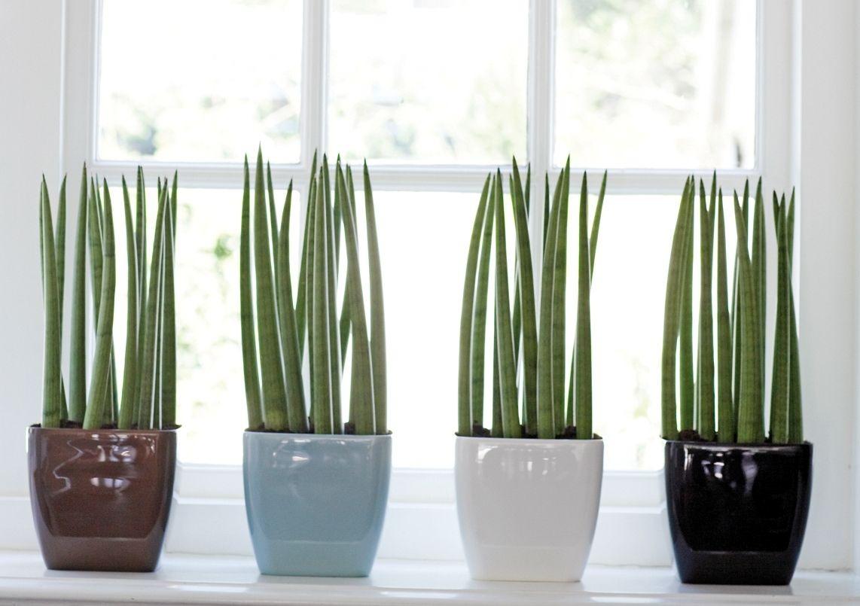 plantas para dentro de casa Lança-de-São-Jorge