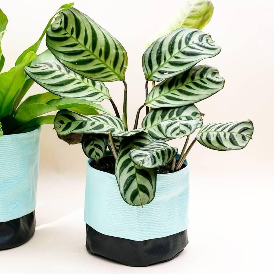 plantas para dentro de casa Marantas