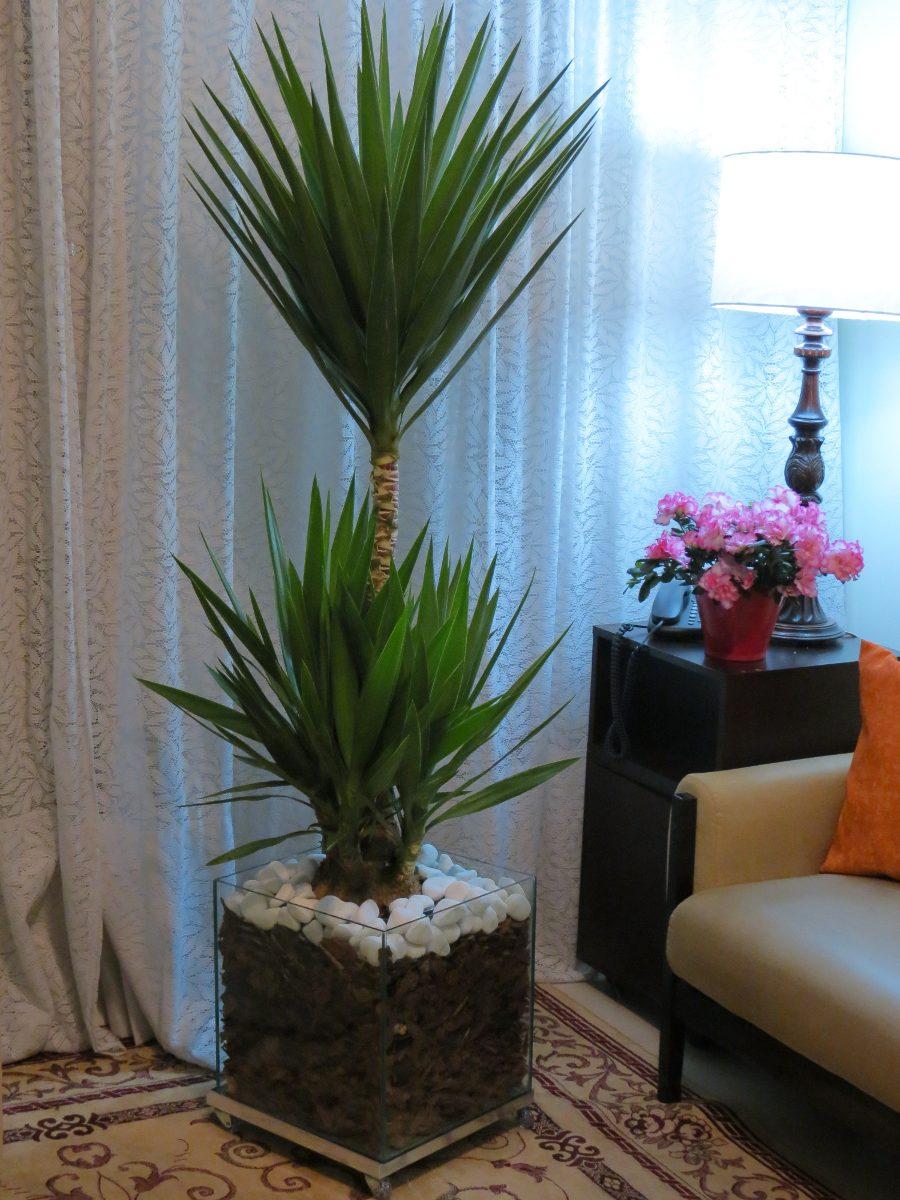 plantas para dentro de casa Yucca