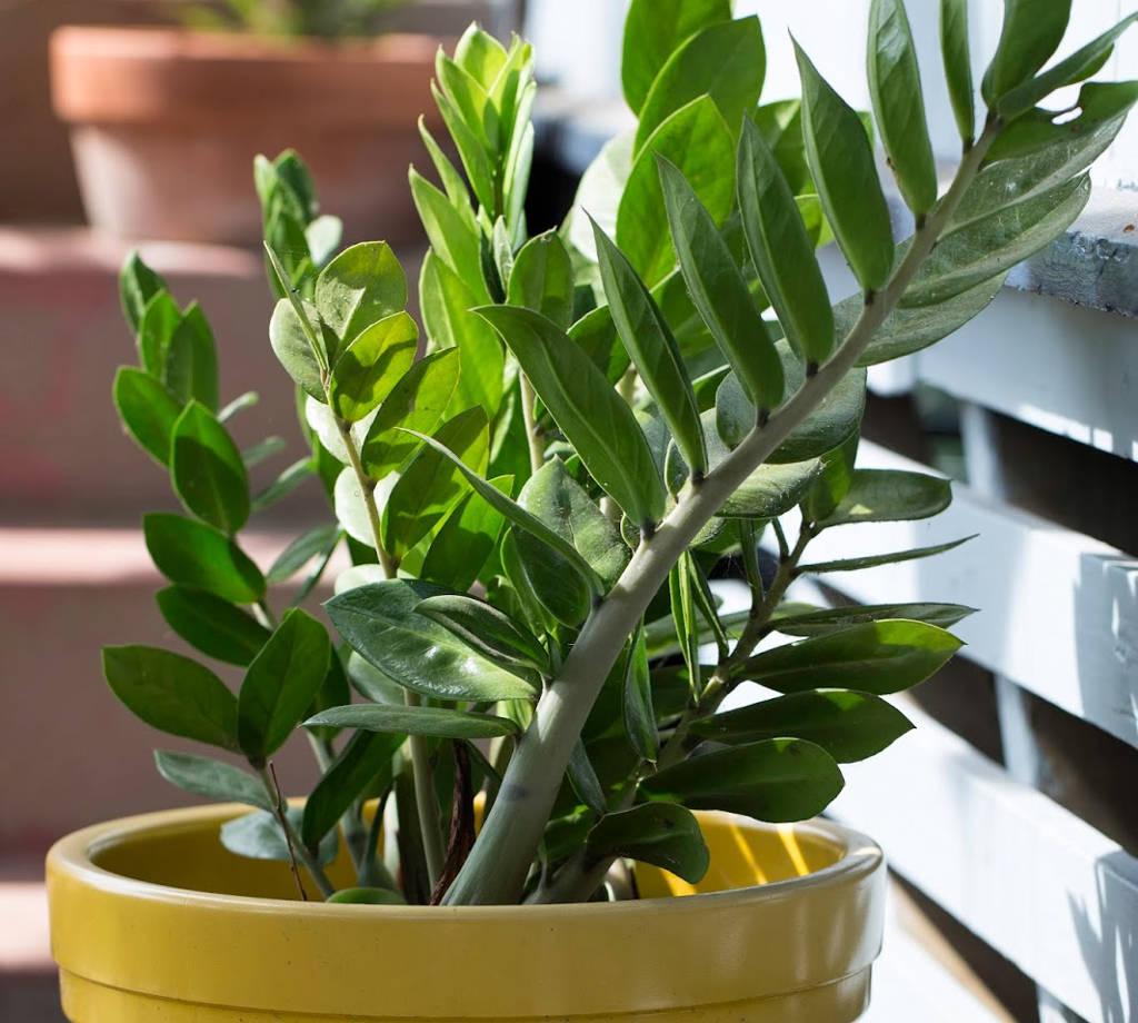 plantas para dentro de casa Zamioculca