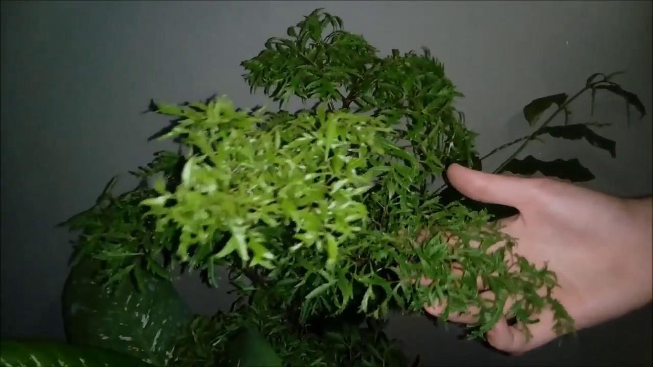 plantas para dentro de casa arvore-da-felicidade