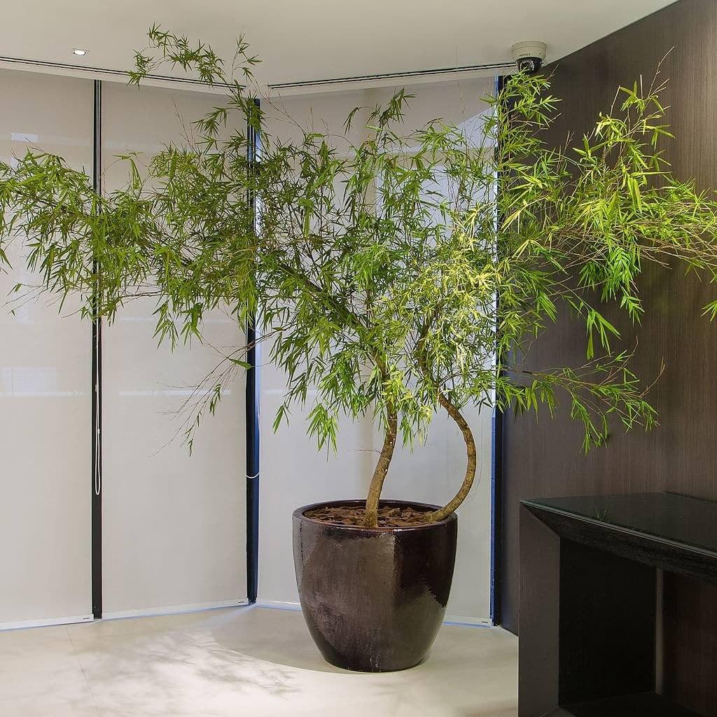 plantas para dentro de casa bambu Mosso