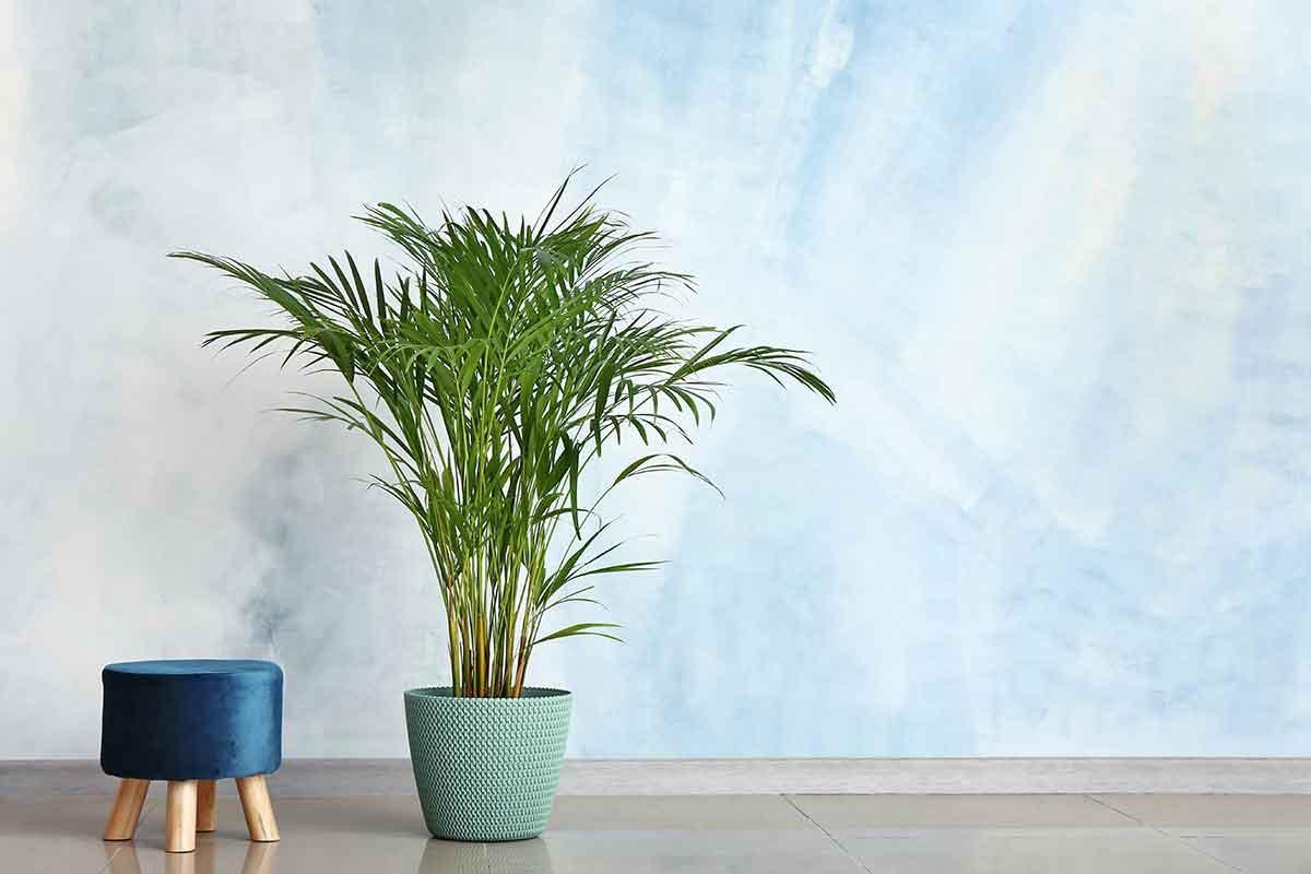 plantas para dentro de casa palmeira bambu areca