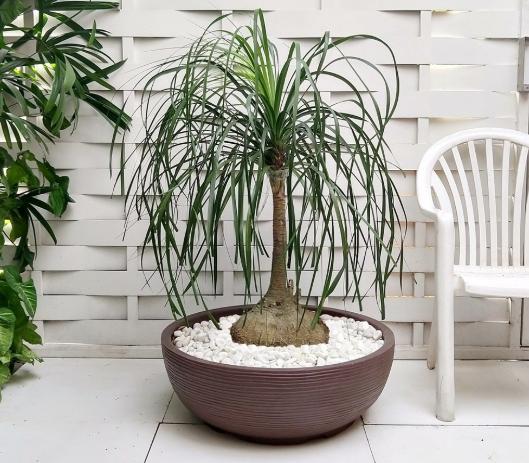 plantas para dentro de casa pata de elefante