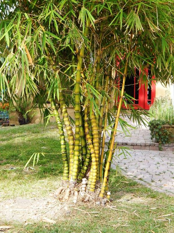 Bambu Barriga de buda