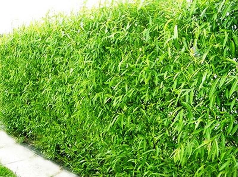 Bambu Múltiplas Folhas