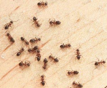 como acabar com formigas ilustrativo formigas