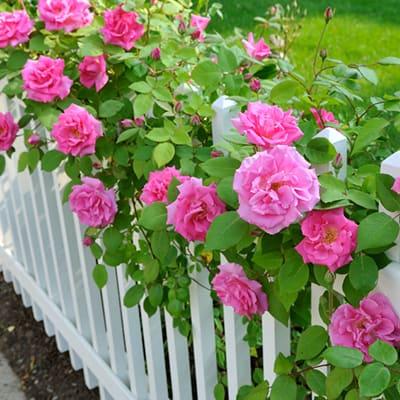 rosas na cerca
