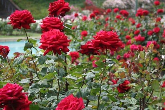 texto como cuidar de rosas