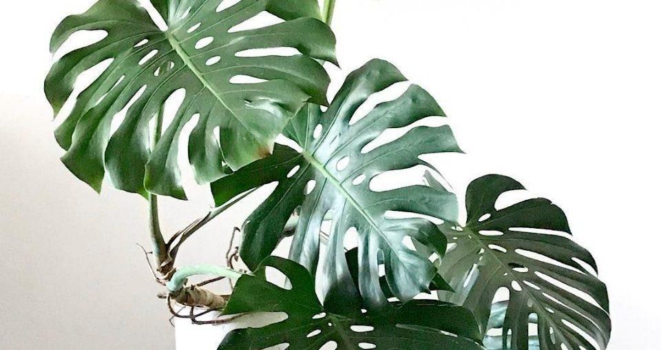 costela de adao planta