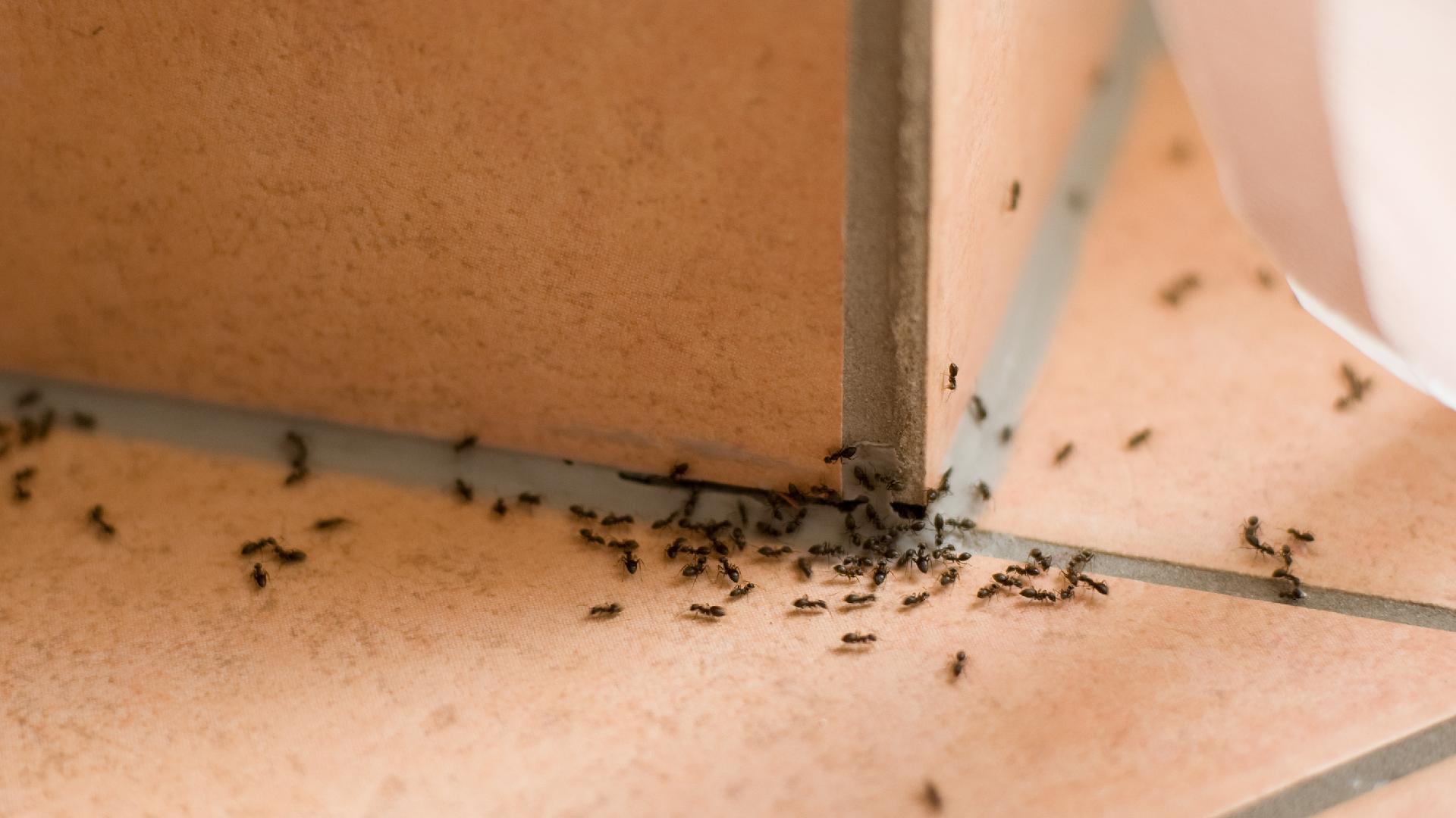 formigas parede