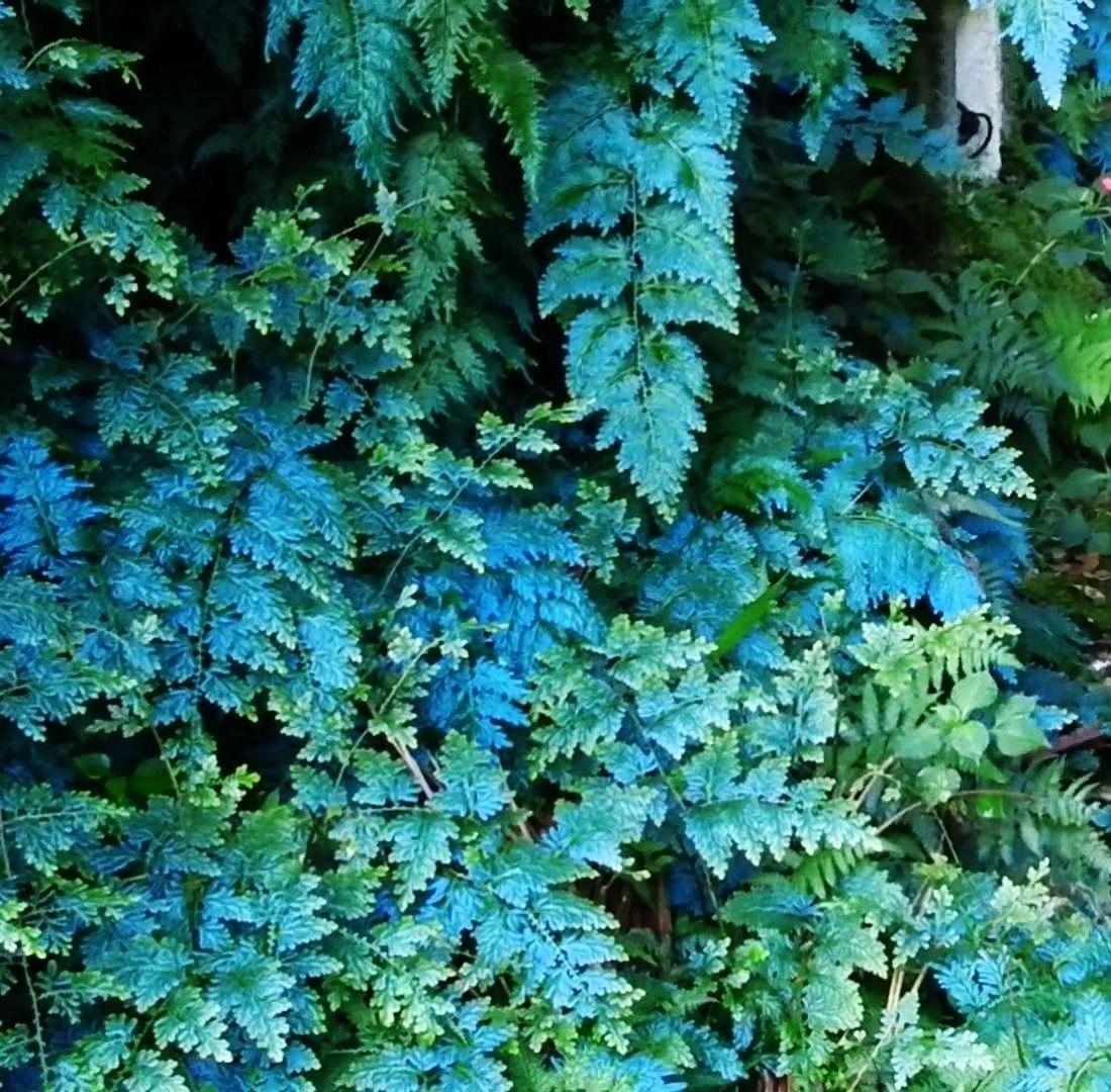 samambaia azul