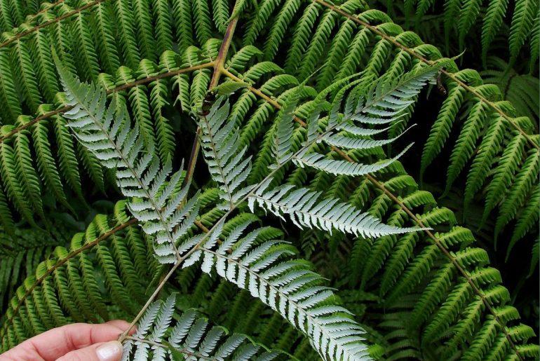 tipos de samambaia planta